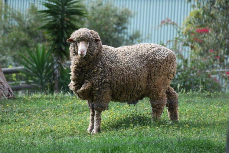 huge sheep