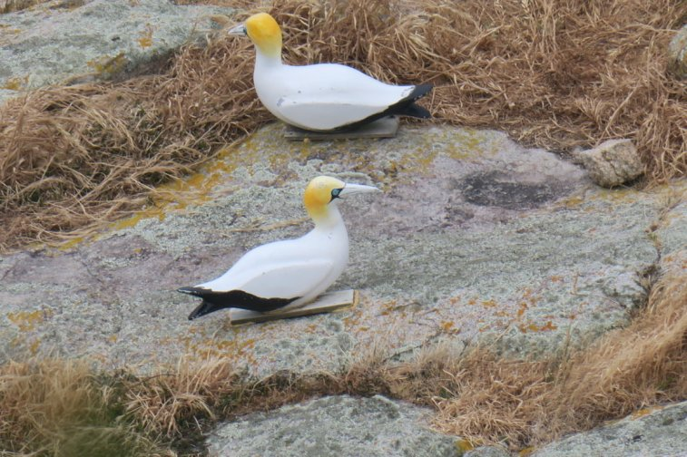 they put this plastic gannets in order to trick the real ones in buidling a new colony there