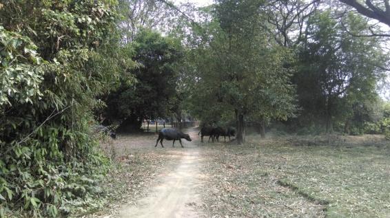 sharing the road with waterbuffallos